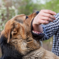 California Dog Bite Laws concept A male German shepherd bites a man by the hand.
